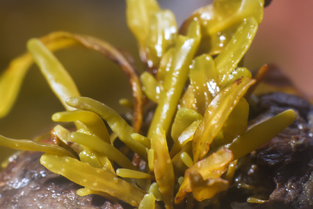 Brown algae (fucus). macro of algal body (blade. thallus). Invisible to the eye world of marine plants and animals 写真素材