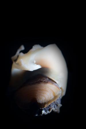 Escargots de mer (Rapana) extraits des coquilles et préparés pour cioppino. Mariscos. Coquillages, corps du mollusque retiré de la coquille, pieds de gastéropode sur fond noir Banque d'images
