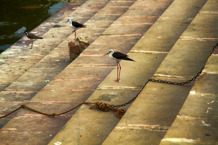Waders on banks of Ganges river. Two Stilts (Himantopus himantopus) and one Red-wattled Lapwing (Lobivanellus indicus) on steps (Ghats) where dead are burned in Benares (Varanasi)