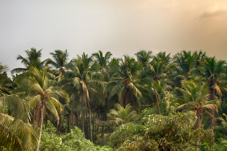 Palm plantation. Rows of palm trees are interspersed with bushes that creates a picturesque view. The anthropogenic nature of India