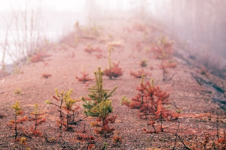 Small trees in fog and dew, pine undergrowth. Early spring in the North Reklamní fotografie