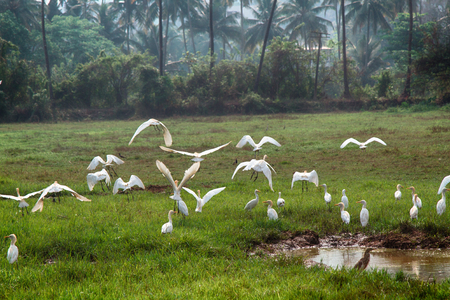 Birds Of India. Cattle egrets in the multitude gathered on drying up the swamp. Among them are several Paddybirds. Lack of water and food in dry winter 版權商用圖片