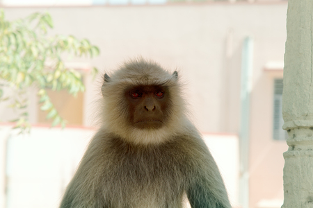 langur portrait close-up. beautiful monkeys on the roofs of the city
