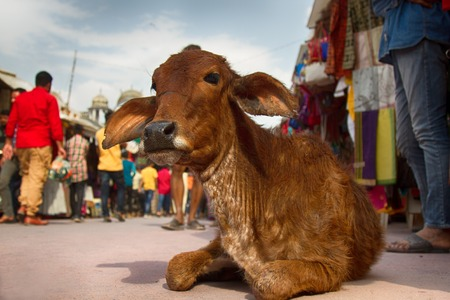 Sacred cows on the streets of Indian cities behave freely and do not pay attention to people