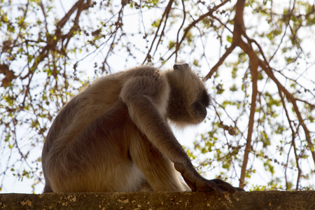 langur portrait close-up. beautiful monkeys of Asia in the ancient ruins of the temple