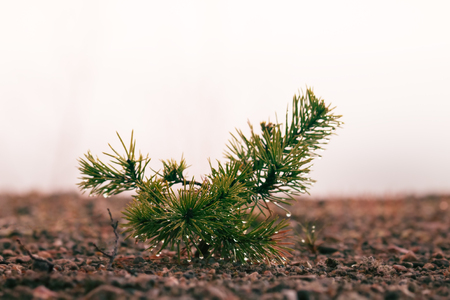 Small trees in fog and dew, pine undergrowth. Early spring in the North Stok Fotoğraf