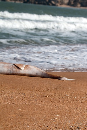 Dead Dolphin on beach. Common porpoise (Phocoena phocoena relicta). Marine mammals increasingly dying from water pollution, many screws of ships, from shortage of fish after fishery, by-catch