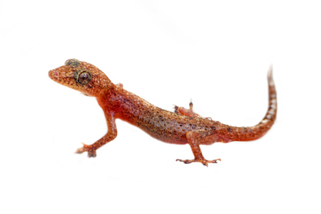 lizard Gecko on white background. amphibians of Southeast Asia.