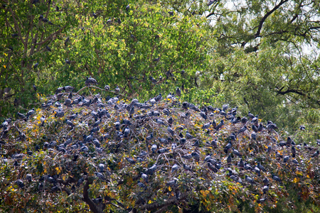 Multiplication blue rock pigeons seated on the horizontal branches of the plane tree. India