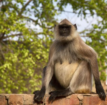 langur Hanuman, pregnant female Stock Photo