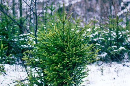 Undergrowth of coniferous trees in winter. Small firs and pines. Forest undergrowth as the main object of attention of forestry, as evidence of the natural renewal of the forest 写真素材