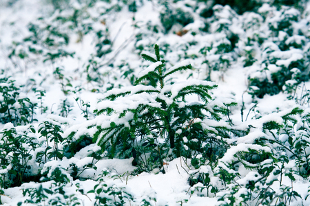 Undergrowth of coniferous trees in winter. Small firs and pines. Forest undergrowth as the main object of attention of forestry, as evidence of the natural renewal of the forest Stok Fotoğraf