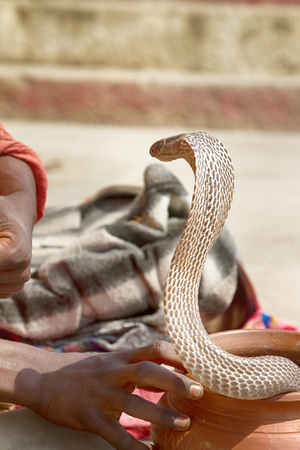 Last Snake Charmer (bede, geek) from Benares with Hamandryad (Indian Cobra, Naja naja). Profession becomes extremely rare because of state ban, disappearance of tradition, loss of professionalism