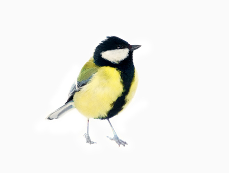 Great tit (Parus major, male) isolated on snow background. It's a sad hungry tit.