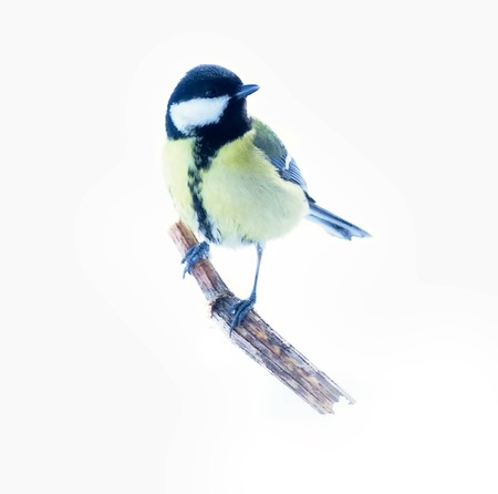 Great tit (Parus major, female) isolated on snow background.