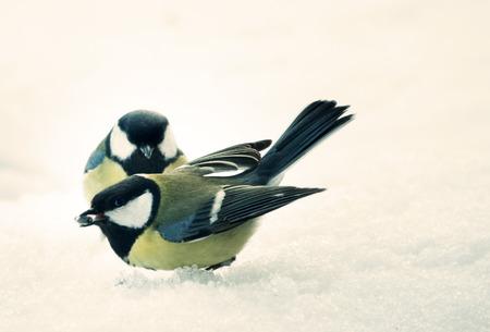 Conflict of Great Tits (Parus major, male-female), aggressive behavior. Animal behavior Foto de archivo