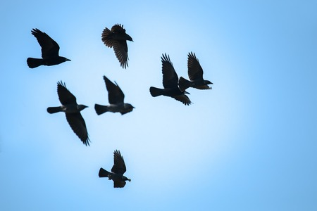 Flying rooks and jackdaws against the blue sky Imagens