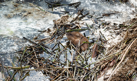 Muskrat woke up in the spring and surfaced on the dirty melting ice among the broken reeds (stagnant water)