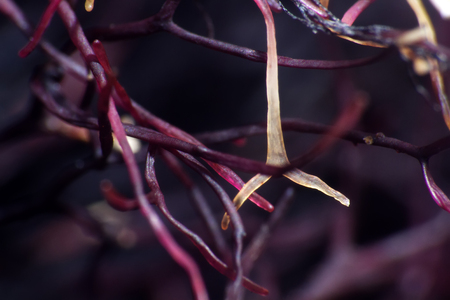 Filamentous seaweed at low tide, wrack. Ultra macro