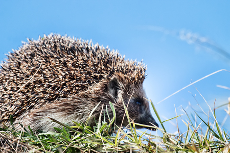 Hedgehog in the spring grass, close-up 免版税图像