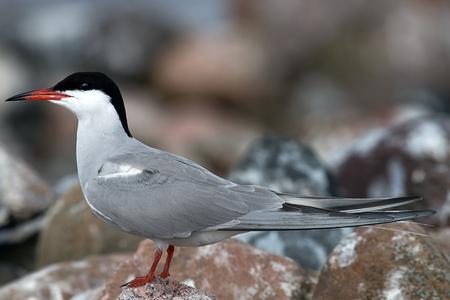 Adult common tern (Sterna hirundo), life-size portrait in nesting colony