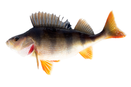 River perch (European perch, Perca fluviatilis) in breeding plumage. Adult female weighing about 700 grams, isolated on white background.