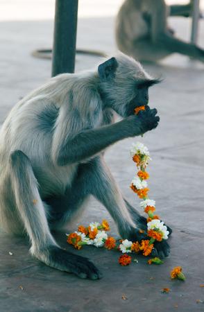 Langur eats flower garland remaining after the pilgrims