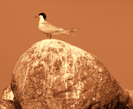 Adult common tern (Sterna hirundo) on a huge boulder-judging by the feces is a permanent residence of seabirds Reklamní fotografie