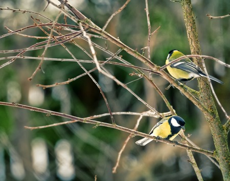 Conflict of Great Tits (Parus major, males), aggressive behavior - threaten posture. Animal behavior
