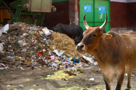 Zebu cattle of different colors in the city. India