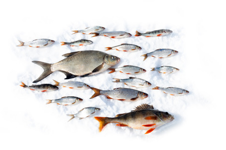 A flock of fish (perch, bream, roach) composition. Peaceful and predatory fish swim in the same order. The concept of reconciliation, as in Paradise before the fall