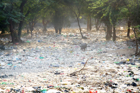 Dumping of household waste n acacia grove and a free-range pig, India