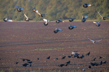 Rooks and pigeons gather up the grain after sowing. Harmful poultry for agriculture