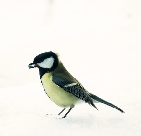 Grandes tetas (Parus major, macho) aislado sobre fondo de nieve. El pájaro tiene una semilla de girasol en su pico. Alimentando a los pájaros