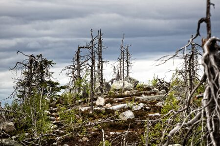 Dead dry trees of bizarre strange shape on top of the Northern taiga hills, writhen tree. Tough life lead to perversion of form (maxima) Foto de archivo