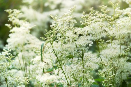 The thinnest and purest essence of summer - flowering grasses, blooming meadows. Favourite season. Meadowsweet