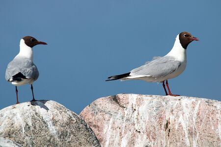 Two seagulls looking at each other while sitting on the stone. Analog in people when he and she did not like each other. The male on the right, pairing and pair-bonding. Larus ridibundus pair