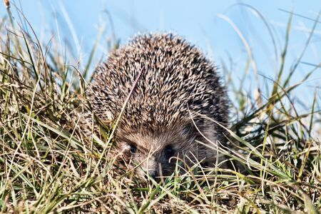 Hedgehog in the spring grass, close-up Stockfoto - 128590100