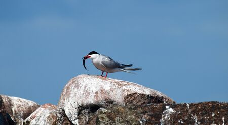 Adult common tern (Sterna hirundo) on huge boulder (erratic boulders) - judging by feces is permanent residence of seabirds. Male tern with fish small herring for juveniles or females