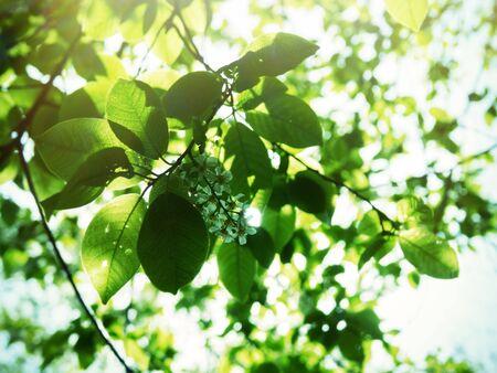 Flowering Bird cherry tree or Glossy Black Chokecherry (Padus) - fragrant white brush-inflorescence 版權商用圖片