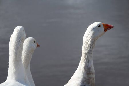 Triple portrait of white domesticated geese