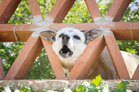 Funny dog sticking his triangular head in the triangular holes of the fence, barking dog