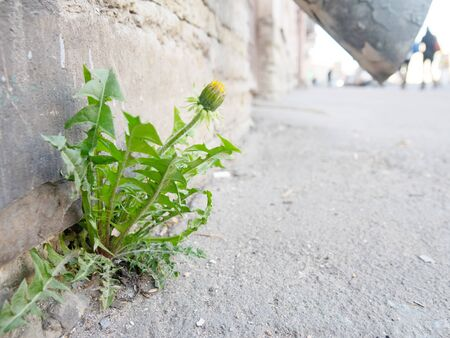 The miracle happened in city, through asphalt sprouted dandelion flower in absence of greenery in the concrete city Stok Fotoğraf