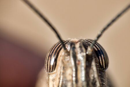 The alien appearance of the locust. Macro front of grasshopper head