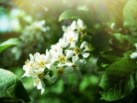 Flowering Bird cherry tree or Glossy Black Chokecherry (Padus) - fragrant white brush-inflorescence Stockfoto