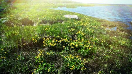 Spring seaside meadow covered with young grass and yellow swamp Caltha flowers. Halfway between marches and meadow. Wind effected phenomena as factor of formation of flood meadow in Baltic sea