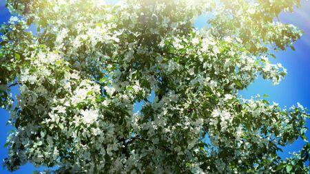 L'aubépine russe (Crataegus) fleurit abondamment contre le ciel bleu. La hauteur du printemps, peut