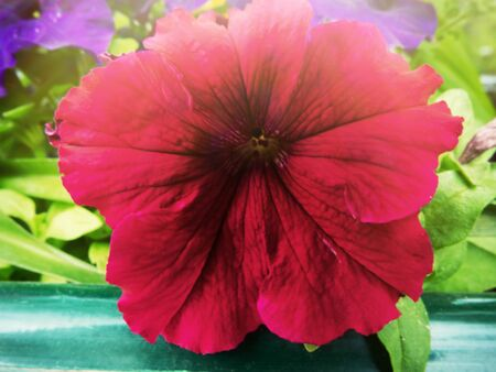 Flower Bed with petunias