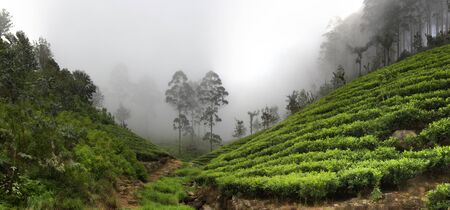 Mountain Ceylon tea (orange pekoe at Camellia sinensis) plantations in monsoon season, monsoon belt on site of former cloud forests. Monsoon wind and inversion clouds. Sri Lanka