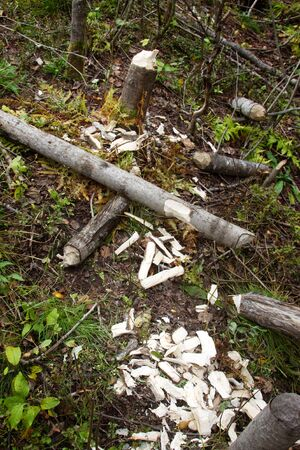 Feeding area of beavers. Beaver dump aspens and gnaw them into fragments that are transported by water for dams, huts and food (eats folded under water)